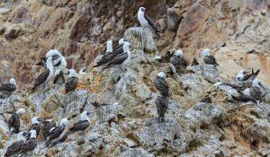 Islas Ballestas, Peru 2916