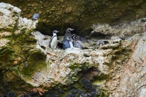 Humboldt-Pinguine, Islas Ballestas, Peru 2916